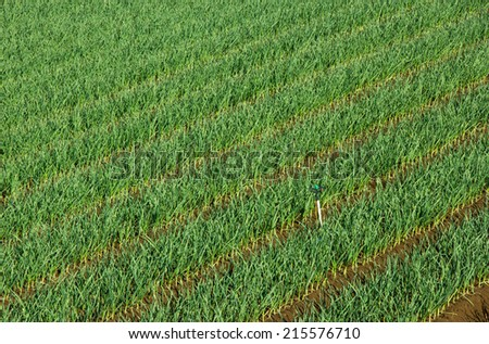 Onion plantation in rows with irrigation system - stock photo