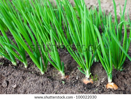 Onion plantation in the vegetable garden - stock photo