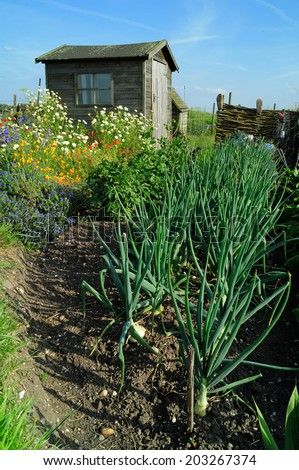 Onions and wild meadow flowers growing on a community garden allotment in front of wooden gardening shed.  - stock photo