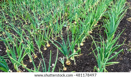 Onions growing in rows in summer.