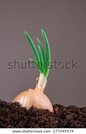 onions in soil on a gray background