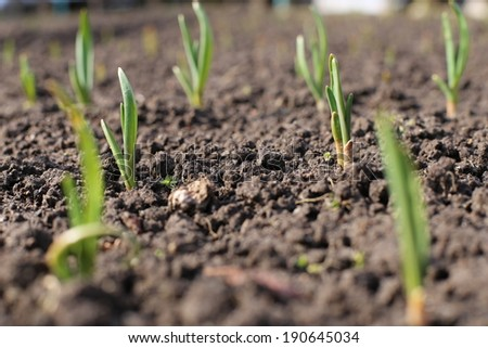 onions in the garden - stock photo