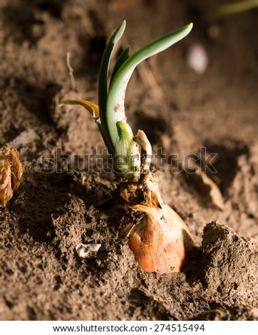 onions in the ground. close-up - stock photo
