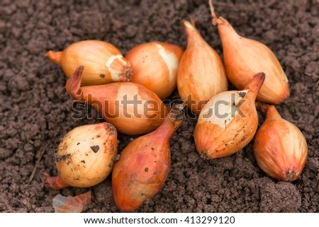 onions ready to planting - stock photo