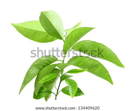 Only branch of citrus-tree with green leaf. Inside view. Isolated on white background. Close-up. Studio photography. - stock photo