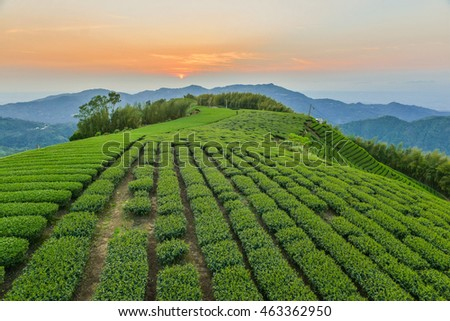 Oolong Tea garden at Alishan in Taiwan