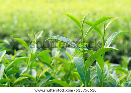 Oolong tea leaves, Two Leaves and a Bud