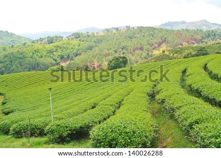Oolong tea plantation in a row on the mountain, Thailand.
