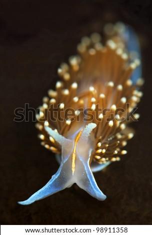 Opalescent Sea Slug - stock photo