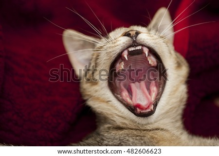 open big mouth of little cat, jaws