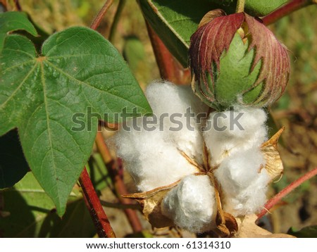 open cotton boll and closed one with leaf on the branch - stock photo