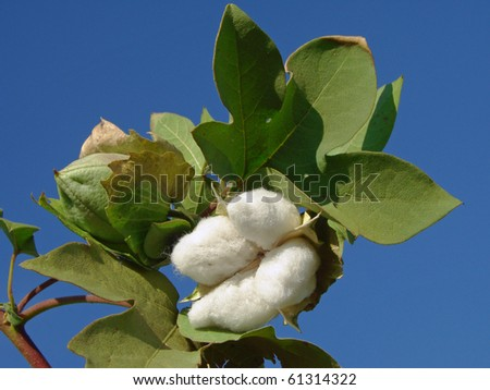 open cotton boll and closed one with leaves on the branch - stock photo