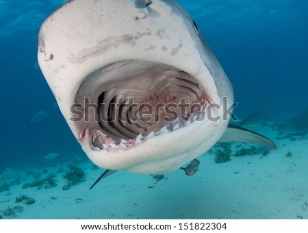 Open Mouth Tiger Shark - stock photo