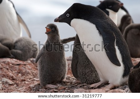 open mouthed Adelie penguin young that's begging for the attention of mum - stock photo