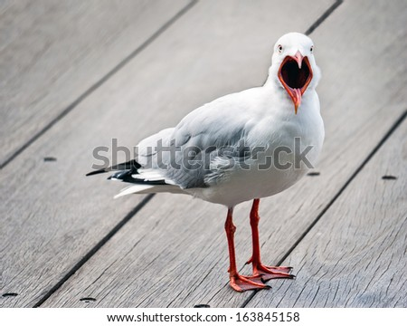 Open mouthed, angry seagull - stock photo