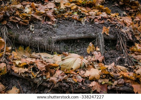 Open powerful roots of a tree in autumn park among fallen leaves, november, moisture, texture, background