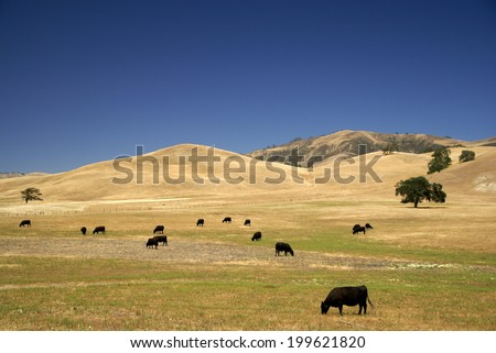 Open Range Cattle in California - stock photo
