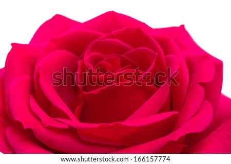 Open red rose on a white background