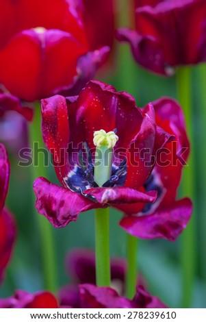 Open tulip - stock photo