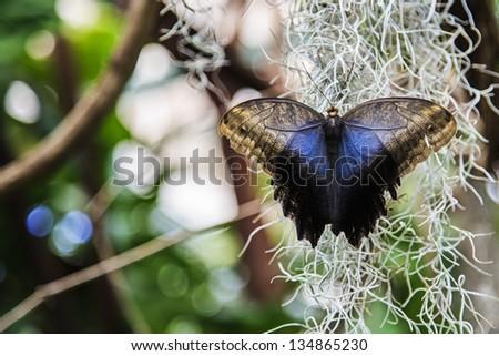 Open wings Owl butterfly - stock photo