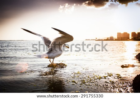 Opened wings seagull in the sea on sunset. - stock photo
