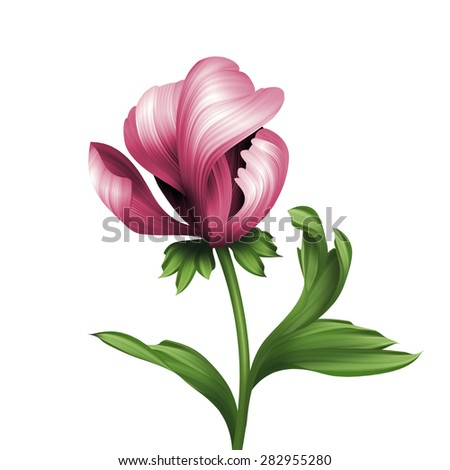 opening pink peony flower and green curly leaves illustration, isolated on white background - stock photo