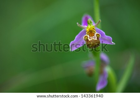 Ophrys apifera: The median lobe of the flower is hairy and similar to the abdomen of a bee, therefore this beauty is also known as the bee orchid. The plant is protected in the Benelux. - stock photo