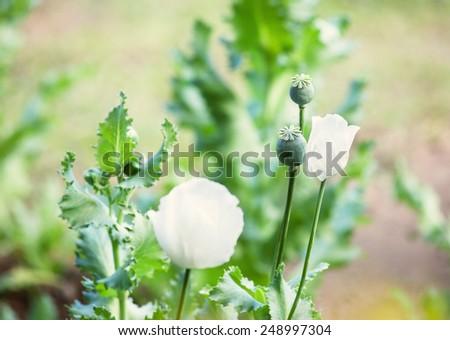 opium and white opium poppy - stock photo