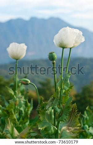 Opium flower plantations for education. Mae Taman Mount. Chiang Dao. Chiang Mai, Thailand - stock photo