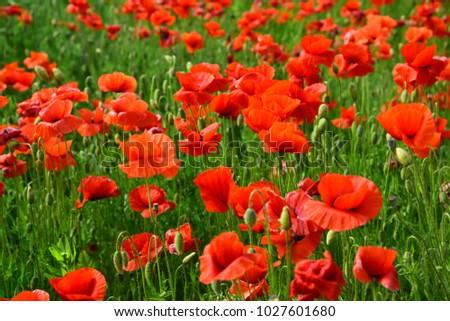 Opium poppy botanical plant ecology poppy stock photo download now opium poppy botanical plant ecology poppy flower field harvesting drug and mightylinksfo