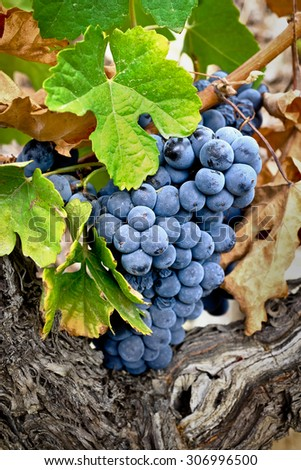 Oporto wine grapes - stock photo