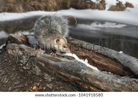 Opossum (Didelphimorphia) With Curled Tail - captive animal