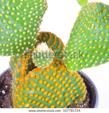 Opuntia cactus isolated on white background