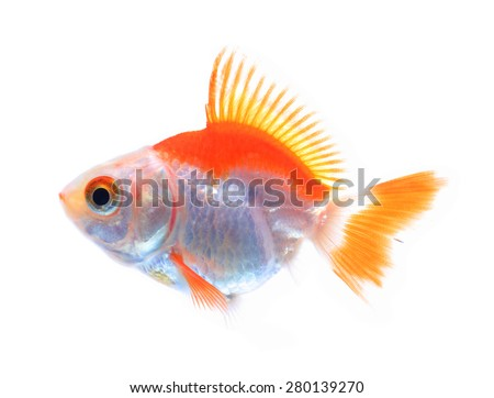 Oranda goldfish isolated on white, high quality studio shot manualy removed from background so the finnage is complete