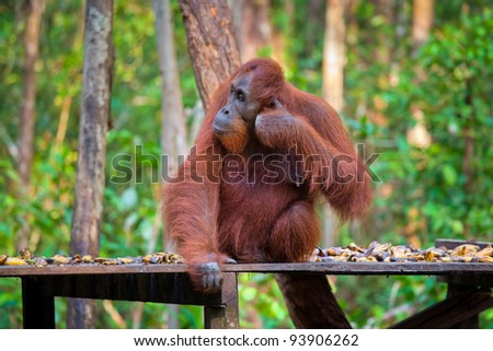 Orang-utan from Borneo, Indonesia - stock photo