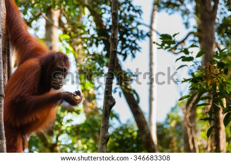 Orang Utan hanging on a tree in the jungle, Kalimantan, Borneo, Tanjung Puting, Indonesia - stock photo