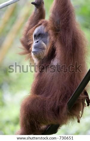 Orang Utan in zoo - stock photo
