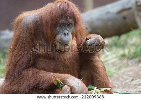 "Orang Utan lives in the forests of Southeast Asia, and is considered as one of the closest relative to Man.  Orang Utan means ""Man of the forest"".  - stock photo"