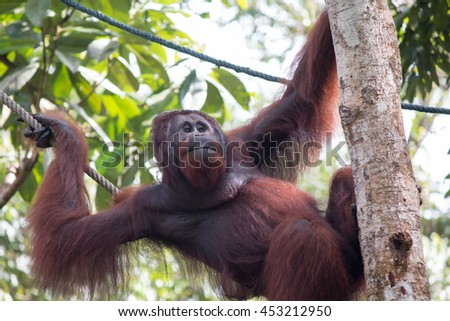 Orang Utan male in tree in Semenggoh Nature Reserve || Borneo Malaysia - stock photo