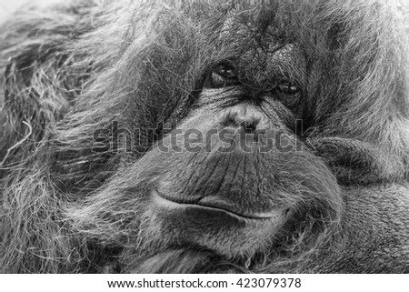 orang utan monkey looking at you in black and white - stock photo