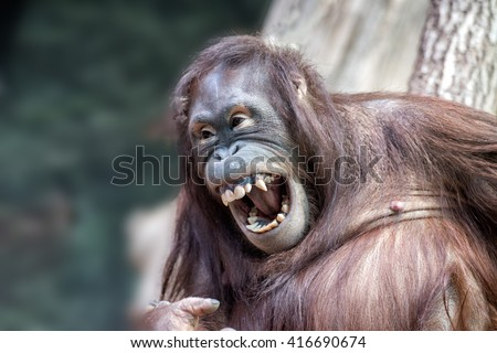orang utan monkey looking at you while yawning  - stock photo