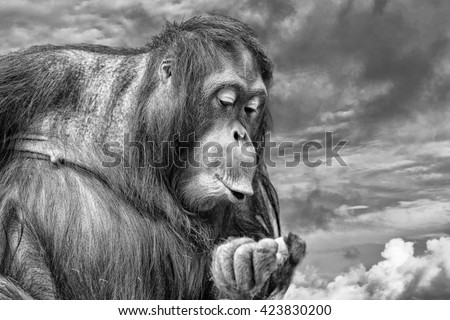 orang utan monkey portrait on the gold sunset background in black and white - stock photo