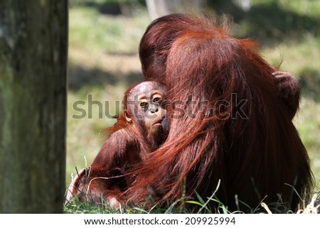 orang utan mother with baby - stock photo
