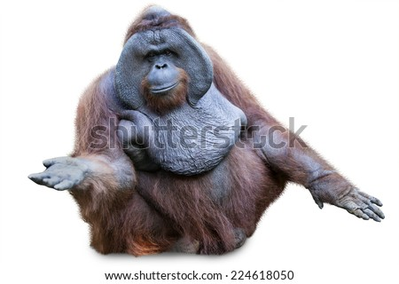 Orang utan / Orangutan sitting shot over white background - stock photo