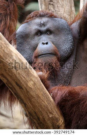 orang utan portrait - stock photo