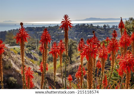 Orange Aloe Arborescens Cactus Flowers Morning Pacific Ocean View East Mountain Road Channel Isllands Oil Platforms Santa Barbara California - stock photo