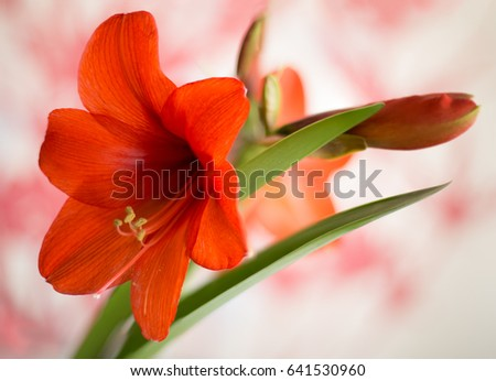 Orange Amaryllis in full bloom against a blurred background