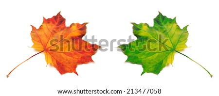 Orange and green autumn maple-leafs. Isolated on white background - stock photo