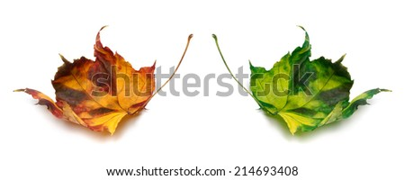 Orange and green autumn maple-leafs isolated on white background - stock photo