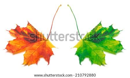 Orange and green yellowed maple-leaf. Isolated on white background - stock photo